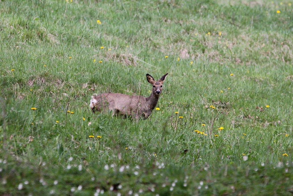 Chevreuils-avril-2011-002.JPG