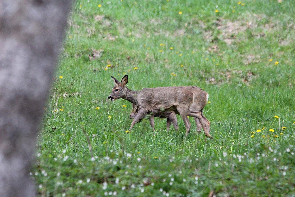 Chevreuils-avril-2011-004.JPG